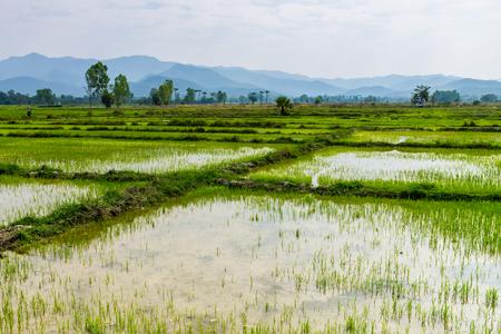 風刺、タイ。17 から 2017 年 2 月: 風刺州の田舎で田んぼは収穫のために立っていた。