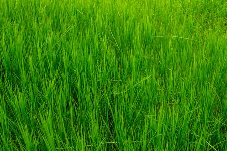 緑豊かな緑で育った農村地域内の芝生広場。 写真素材