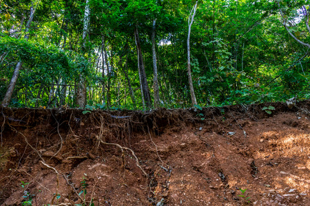 The roots of trees in the forest stand out after road construction begin on  the mountain.