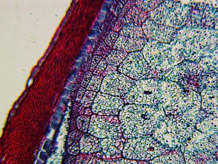 planta de maiz: Zea Semilla bajo el microscopio, maíz o semilla de planta de maíz