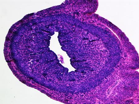 ureter: Dog Ureter under Microscope