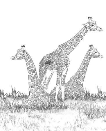 Safari - giraffes on the meadow coloring page - illustration for children 写真素材