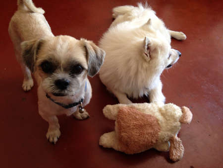 otganimalpets01: My adorable dogs playing with a soft toy dog