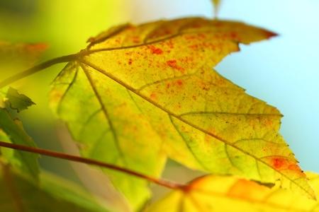 autmn: maple leaf
