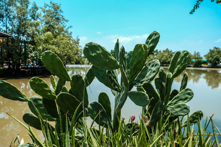 Cactus Opuntia grow beside pond with clear blue sky image Stock Photo