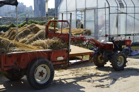 rice harvest: In fact, the rice harvest haystack to look cultivators
