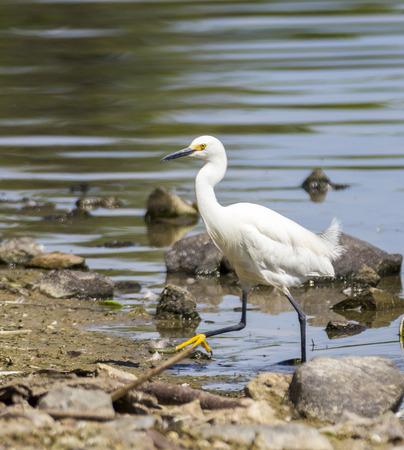 denver parks: Great white egret walking in Denver Park
