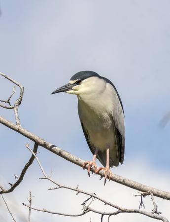 denver parks: Black crowned night heron Denver Park Stock Photo