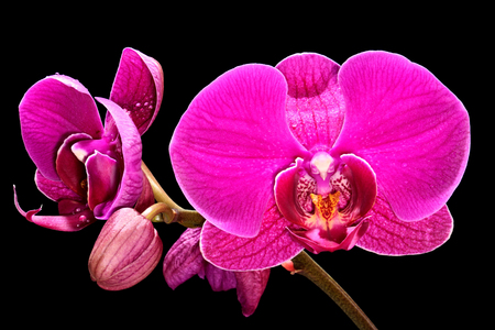 Beautiful pink orchid on a black background