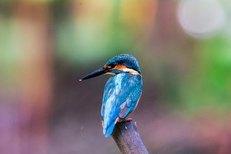 alcedo atthis: The Common Kingfisher (Alcedo Atthis)