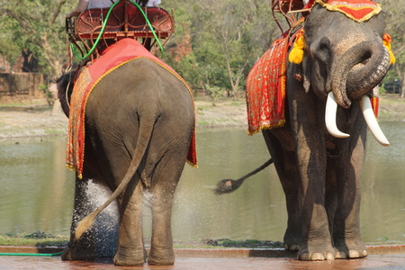 Thai elephants in Ayutthaya are playing in the water 版權商用圖片
