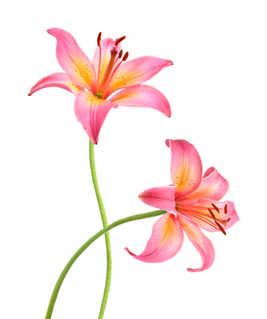 Two pink lily flowers. Isolated on white background Banque d'images