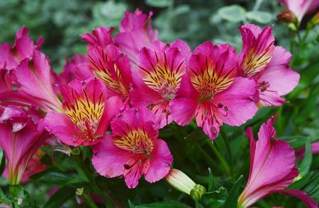 Alstroemeria flowers isolated on background. Stock Photo