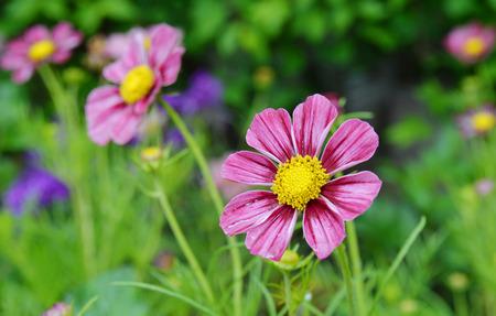 Cosmos flowers in blooming