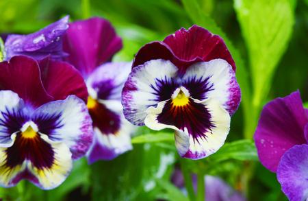 Viola flower field in bloom Zdjęcie Seryjne