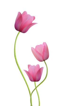 spring flowers. Tulips isolated on white Stockfoto
