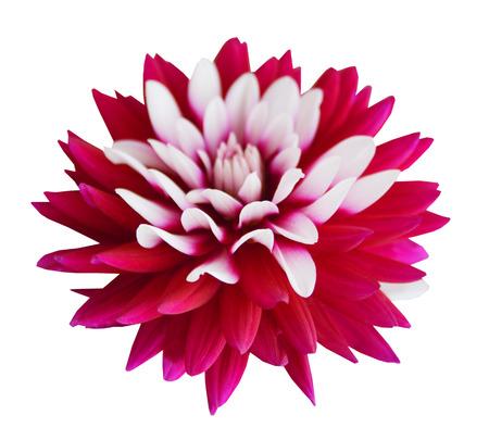 Fleur de chrysanthème violet isolé sur fond blanc Banque d'images - 98463464