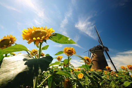 soest: Dutch windmill in the garden sunflowers.
