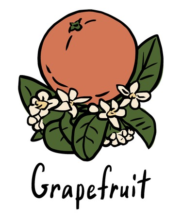 grapefruits:  illustration of the grapefruit with flower and leaves