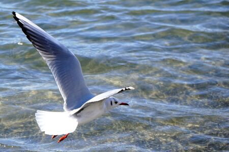 A flying seagull 写真素材