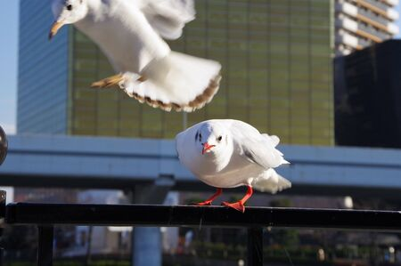 Two lily seagulls playing