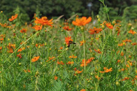 A lot of Cosmos sulphureus flowers