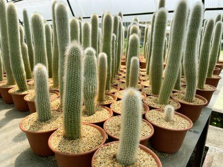 fresh cactus in pot. Cactus plant pattern