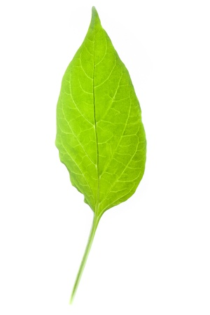 peper: Peper sprout leaf isolated on white