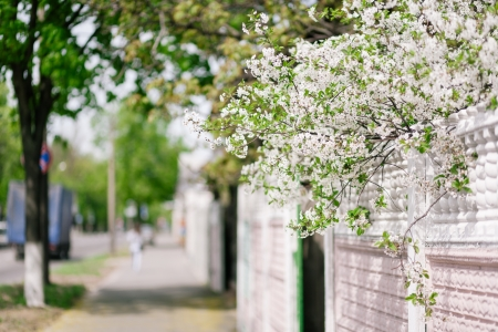 fense: Cherry tree blooming on pink fense. Select focus on cherry tree Stock Photo