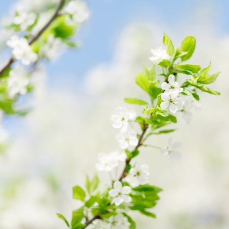 Apricot tree blooming over blue sky. Shallow depth of field photo