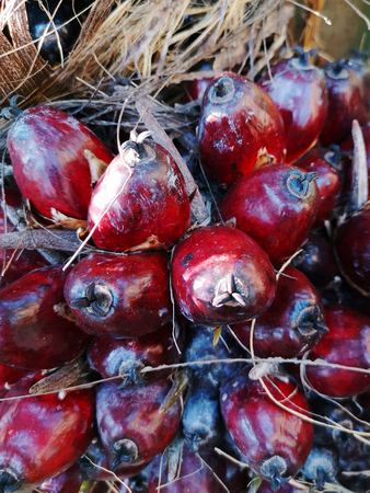 Close up of oil palm fruits