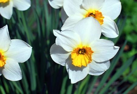daffodil: daffodil flowers