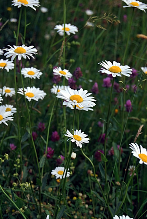 oxeye: oxeye daisies on meadow Stock Photo