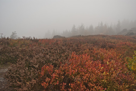 erzgebirge: moorland with bilberry growth on Vysoky kamen hill in Krusne hory day during autumn misty day