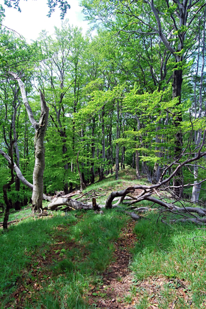 skala: hiking trail in spring deciduous forest with tree trunk across bellow Rohata skala hill in Strazovske vrchy mountains