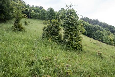 mountain meadow: mountain meadow witth juniper shrubs on Japen mountain ridge in Velka Fatra mountain range in Slovakia