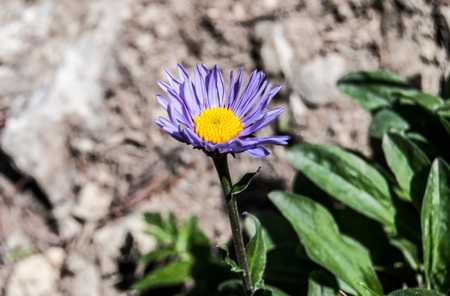 mala fatra: alpine aster flower with rock on the background on Velky Rozsutec hill in Mala Fatra mountains Stock Photo