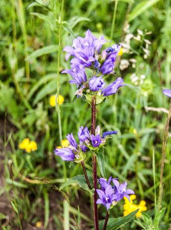 mala fatra: clustered bellflower (Campanula glomerata) flowering plant in Mala Fatra mountain range in Slovakia