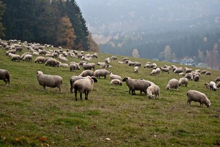 erzgebirge: grazing sheep on autumn pasturage in Erzgebirge mountains in Saxony Stock Photo
