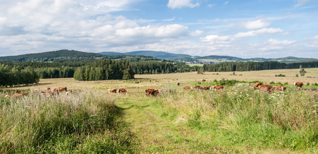 lipno: feeding cows on summer mountain meadow with hills on the background and blue sky with clouds in Sumava near Lipno water reservoir
