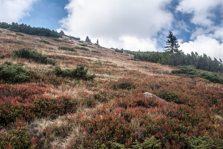 autumn mountain meadow with billbery and blackberry shrubs, mountain pine and few small trees bellow Prasiva hill in autumn Nizke Tatry mountains in Slovakia