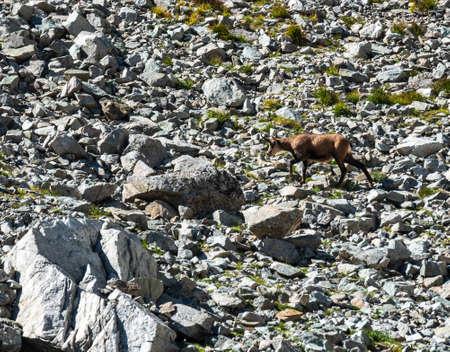running chamois in stony landscape in Vysoke Tatry mountains in Slovakia