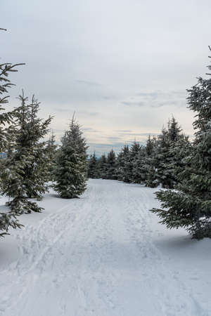 winter mountain scenery with snow covered hiking trail and smaller spruce trees bellow Lysa hora hill in Moravskoslezske Beskydy mountains in Czech republic
