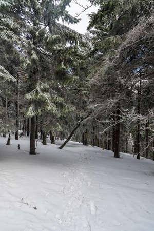 Winter scenery woth spruce trees and snowcapped hiking trail near Certuv mlyn hill summit in Moravskoslezske Beskydy mountains in Czech republic Reklamní fotografie