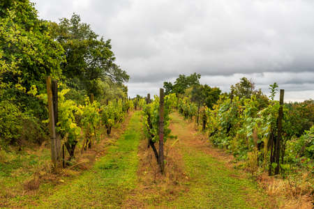 Famous Sobes vineyard above Dyje river valley in Podyji National Park in Czech republic during cloudy autumn day