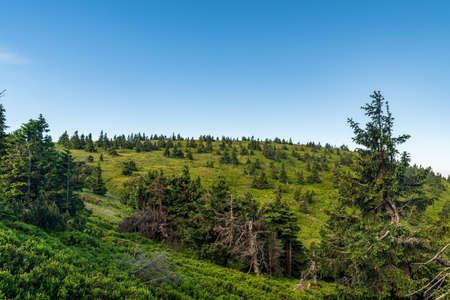 Jeleni hrbet hill above Jeleni studanka covered by grass, bilberry shrubs and smaller trees in Jeseniky mountains in Czech republic
