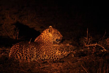 African leopard (Panthera pardus pardus) feline calmly lying in dry grass in dark night. Zambia, South Luangwa.