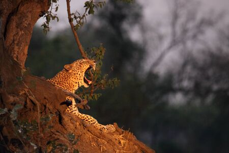 The African Leopard (Panthera pardus pardus) male having a rest near the tree in sunset. South Luangwa, Zambia.