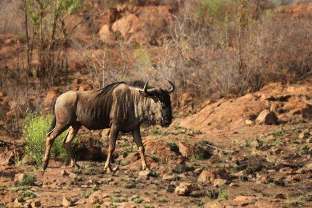 Blue wildebeest (Connochaetes taurinus) calmly walking in dry landscape in evening sun. Stockfoto