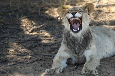 Lioness (Panthera leo) laying in the sand in Kalahari Desert. Lioness with open mouth show teeth. Stock Photo